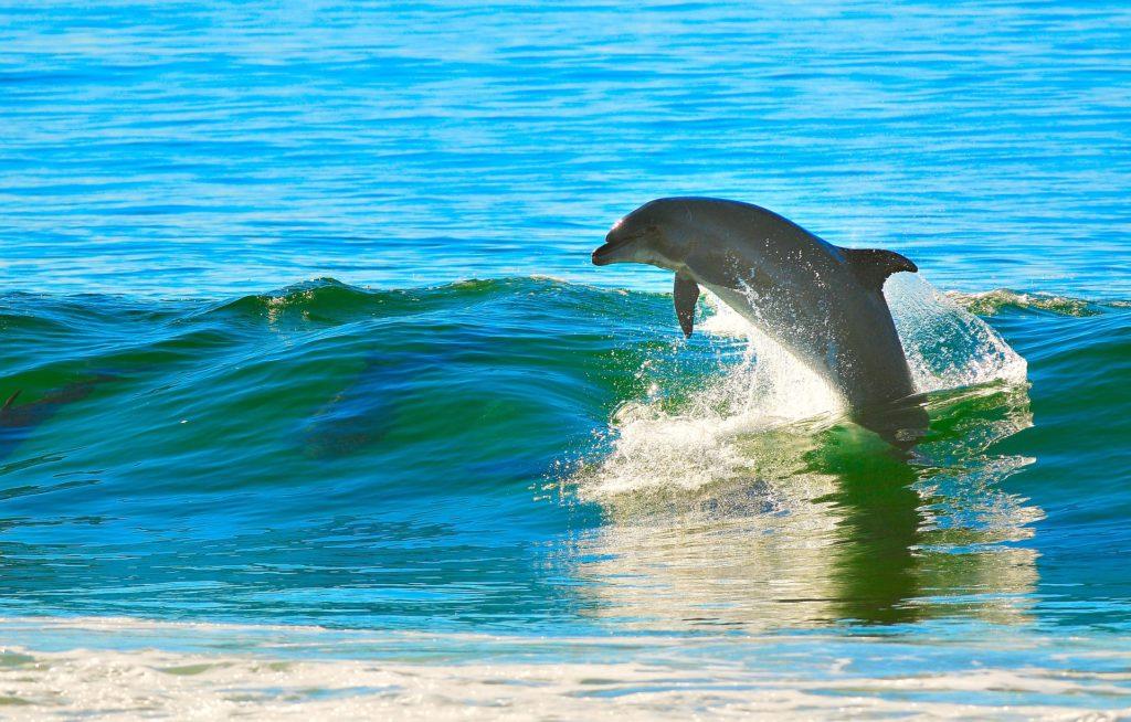 波乗りして遊ぶイルカ